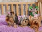 精品宠物繁殖基地长期出售约克夏幼犬 保证品质健康