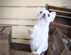 专业繁殖法国斗牛犬,可看狗父母,纯种健康,质保终生