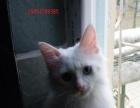 纯白长毛鸳鸯眼家养波斯猫200元。