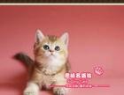高品质英短金渐层小帅哥1号--《思晴名猫坊》