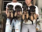 出售**德国黑背德国牧羊犬疫苗已做好可上门选品质