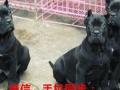 出售杜高犬。