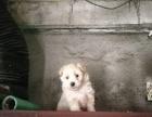 我家泰迪生的,不过这狗是串串泰迪