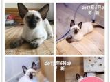 正规猫舍出售美短英短加菲猫江浙沪可上门家养宠猫咪崽