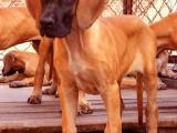 上海哪里有卖大丹犬的 大丹多少钱一只