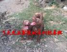 大型比特犬养殖基地,纯种比特犬的价格
