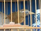 野生画眉鸟,观赏鸟,唱鸟出售