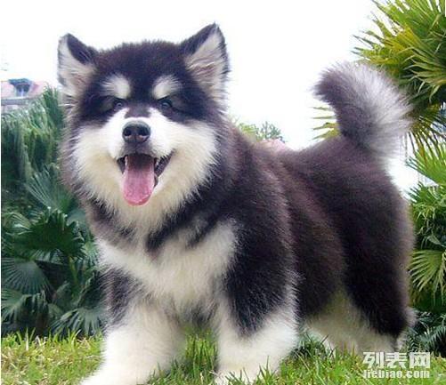 重庆哪里能买到阿拉斯加小狗重庆哪里有卖阿拉斯小狗
