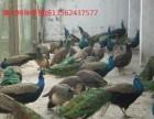 昆明 哪里出售孔雀.鸵鸟.黑天鹅