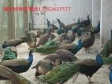 哪里出售孔雀.鸵鸟.黑天鹅