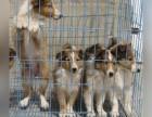 兰州哪里卖苏格兰牧羊犬幼犬兰州苏牧多少钱一只苏牧图片苏牧吃啥