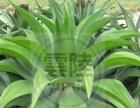 吸甲醛盆栽植物,鲜花武汉地区免费送货上门