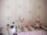 南宁哪里有卖布偶猫幼崽 南宁最便宜布偶猫多少钱一只保健康