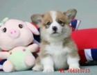 纯种柯基犬 三色双色均有 血统品质极佳 可全国发货