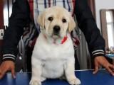 拉布拉多犬价格 佛山哪里有卖拉布拉多犬 养殖场直销签协议