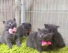 广州哪里买卖家养蓝猫纯种蓝猫价格多少钱一只蓝猫照片