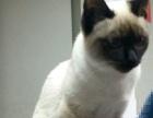 9个月暹罗母猫发情了,求配种。
