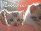 出售美国短毛猫 起司猫