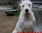 出售纯种马犬幼犬 红黑都有 杜高犬 格力犬 惠比特犬