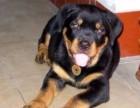 罗威纳幼犬多少钱 疫苗齐全 三年质保协议