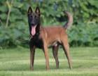 赛级双血统马犬 护卫犬 专业犬舍繁殖 疫苗齐 包健康纯种