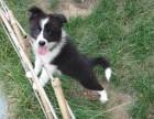 可愛邊境牧羊犬--集美貌與智慧與一身