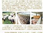 广西巴马小巴牌香猪加盟 种植养殖
