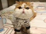 纯种加菲猫活体加菲纯种幼猫黄白包子脸加菲幼崽长毛波斯猫宠物猫