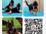 上海世界名犬直销纯种优质保健康