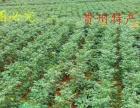 供应贵州特产 贵州辣椒
