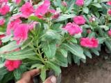 周口草花系列四季海棠时令花卉四季海棠出售四季草花四季海棠供应