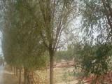 扬州30公分合欢树厂家长年出售合欢树