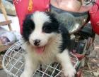 纯种边境牧羊犬,零售700元一条。