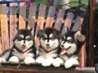 重庆高品质基地纯种阿拉斯加/雪撬犬 多只挑选 健康纯正