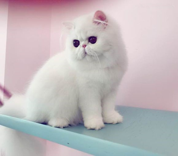 唐山哪里有波斯猫卖 纯种 无病无廯 协议质保