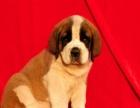 犬业专业品质缔造优质圣伯纳犬签质保可看种犬