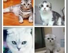 大CFA纯种高品质英短银渐层猫咪折耳猫疫苗已做保健康