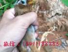 广州哪里有卖画眉鸟 一只大概多少钱画眉鸟
