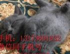 猫舍直销纯种家养幼猫支持支付宝散养加菲猫只待售