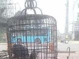 灰鹦鹉折中鹦鹉葵花鹦鹉绯胸鹦鹉出售