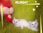 英国猫猫,白色