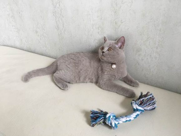 重庆哪里有蓝猫卖 蠢萌型 健康无廯送货上门 支持空运