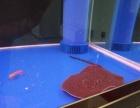 珍珠虹鱼一对公150公分母130公分还有一只财神鹦鹉