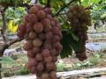 惠州去哪能摘到新鲜葡萄?N条惠州葡萄采摘路线