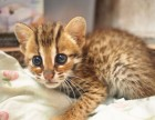 郑州哪里有孟加拉豹猫卖 野性外表温柔家猫性格 时尚 漂亮