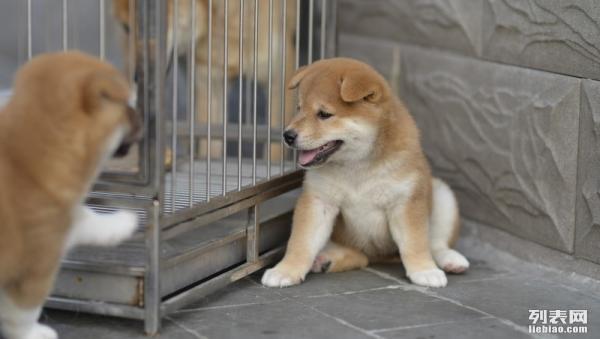 重庆出售柴犬 纯种健康日系柴 重庆柴犬图片 多只选
