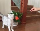 苏格兰折耳猫,可上门看猫