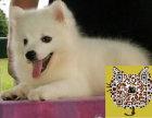 哪里出售纯种银狐犬,日本尖嘴 最便宜多少钱