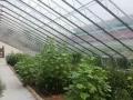 中国禾道君子兰基地花窖1000平米