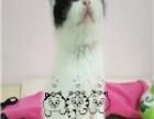 布偶猫英短蓝猫蓝白加菲猫布偶猫美短美国短毛猫纯
